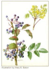 Oregon grape illustration