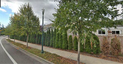 Linden trees-UP